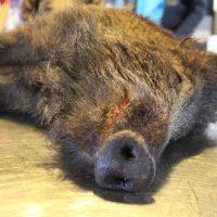 Een varken van Ter Weele, van ca 45 kilo en anderhalf jaar oud