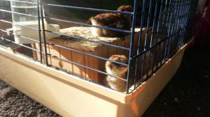 Kleine kuikens worden groot